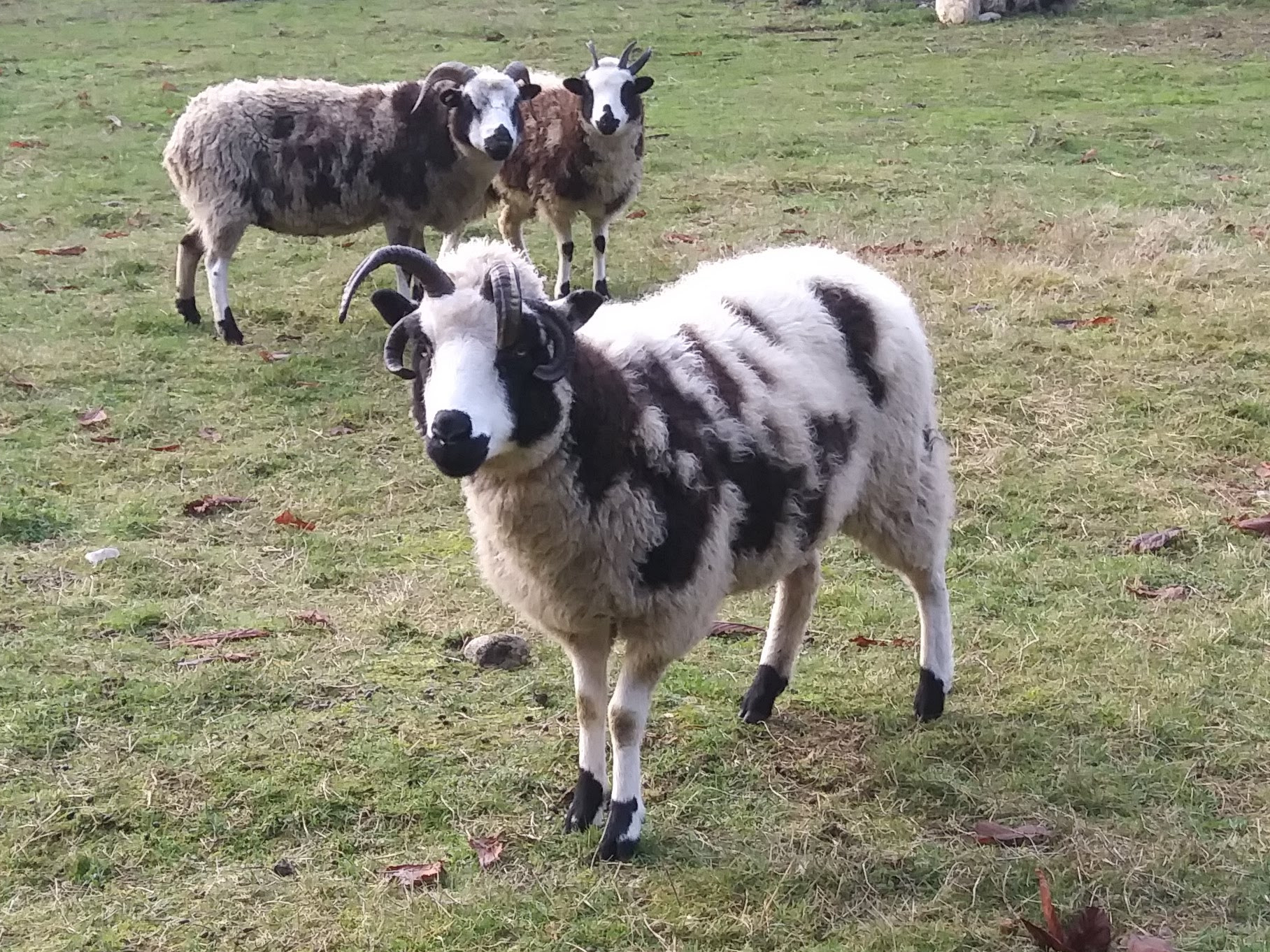 Jacob Sheep for Sale